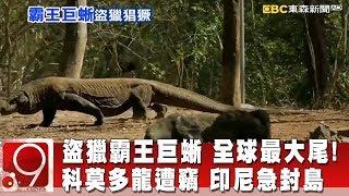 盜獵霸王巨蜥 全球最大尾! 科莫多龍遭竊 印尼急封島《9點換日線》2019.04.03