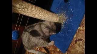 Кошачья мята   Как приучить к когтеточке