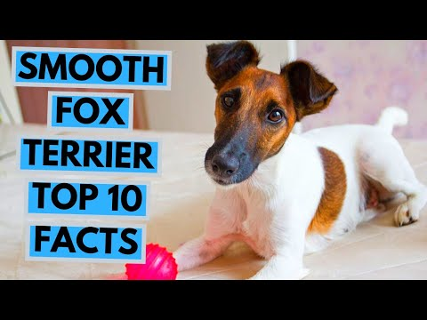 Smooth Fox Terrier - TOP 10 Interesting Facts