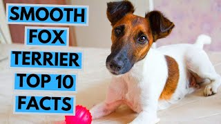 Smooth Fox Terrier  TOP 10 Interesting Facts