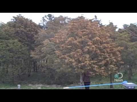 Massive Tree Pollen Explosion Explained