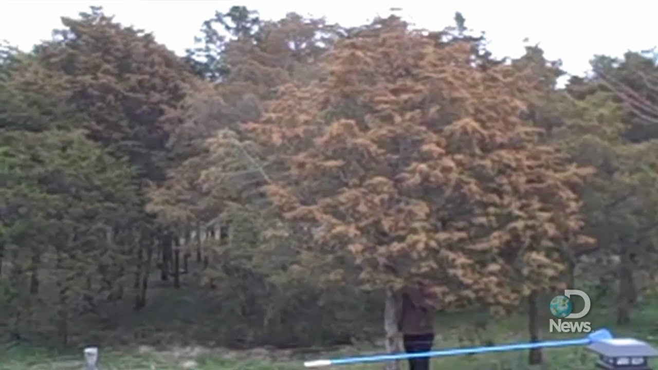 This Tree Exploding With Pollen Will Make People With Spring Allergies Weep