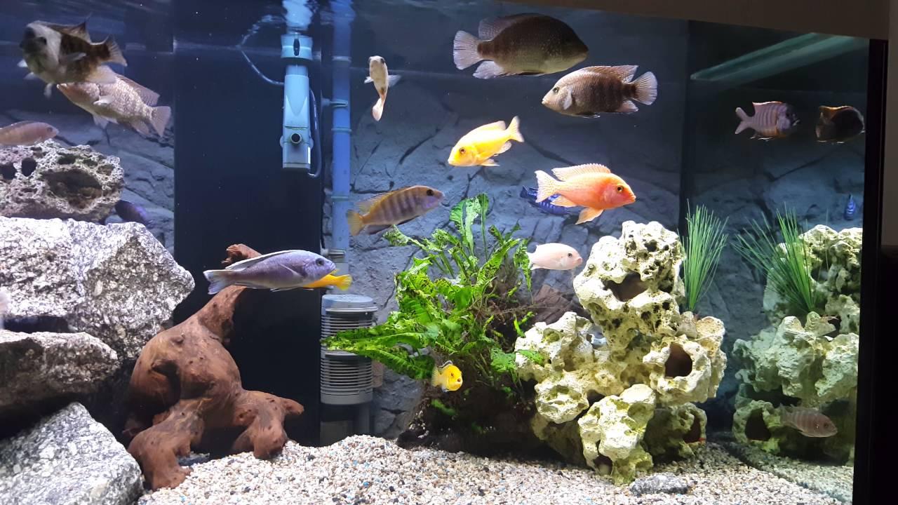 barsche aquarium youtube. Black Bedroom Furniture Sets. Home Design Ideas