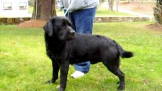 Dog World Jaipur- Stud Dog Imported From America. Labrador Stud