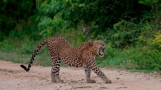 Yala Wildlife Safari, a national park in Sri Lanka