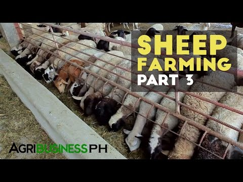 Zero grazing sheep farming management | Sheep farming part 3 #Agriculture