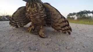 Falconry - Our Birds.