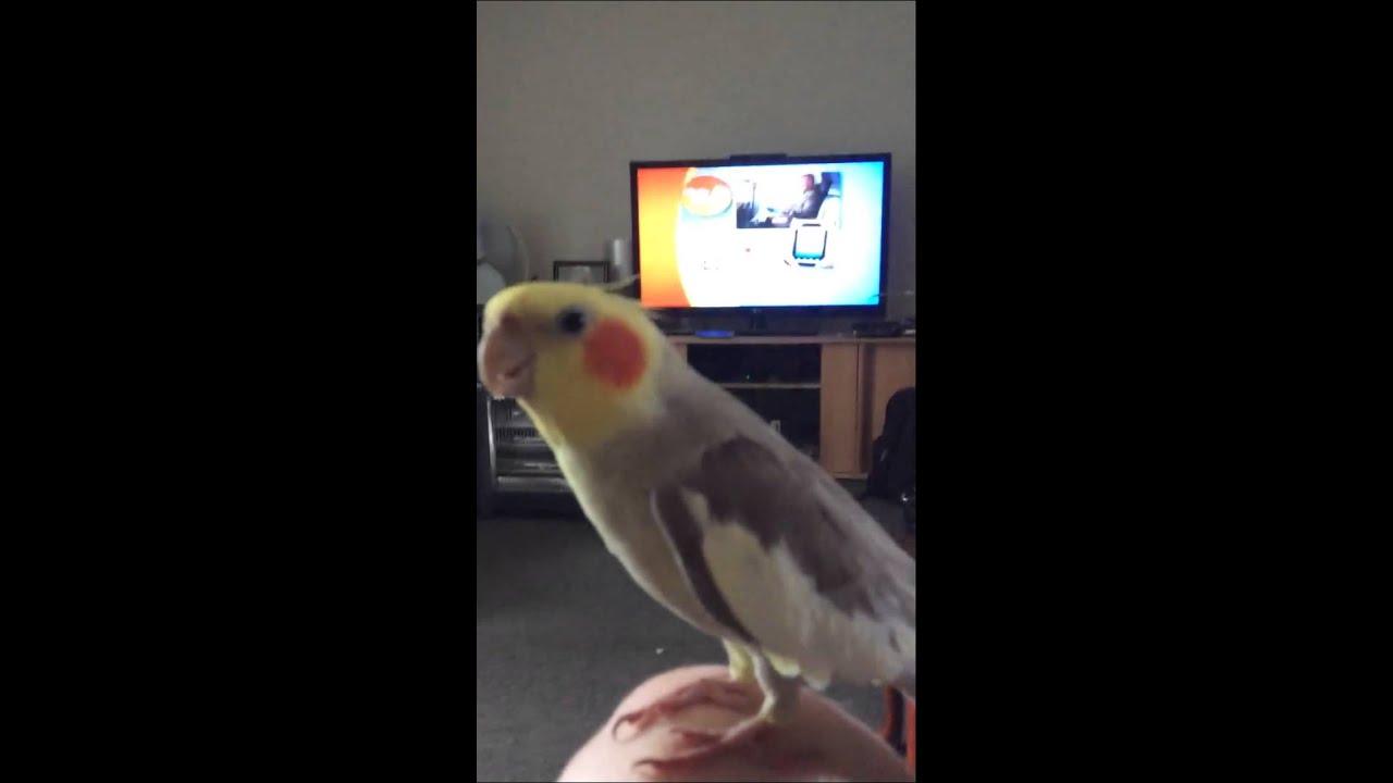 Oscar The Beat Boxing Bird First Verse Dubstep Singing Cockatiel