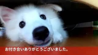 7話 愛犬の日本スピッツ(サンゴ)がお気に入りのソファーの下から出て...