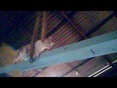 CUTE AND FUNNY PREGNANT STRIPED CAT VINE