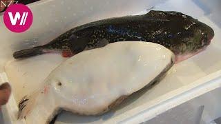 Fugu - so wird der giftige Kugelfisch zubereitet