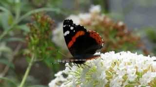"Red Admiral Nectaring Buddleja, ""Butterfly Wings"" - September 14, 2013"