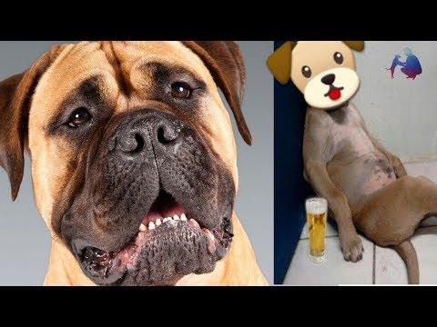 Bull mastiff dog facts in hindi