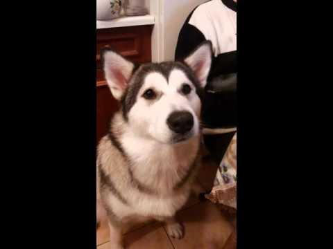 Собака разговаривает. Аляскинский маламут.