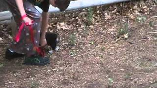 Corgi Puppy Potty Training