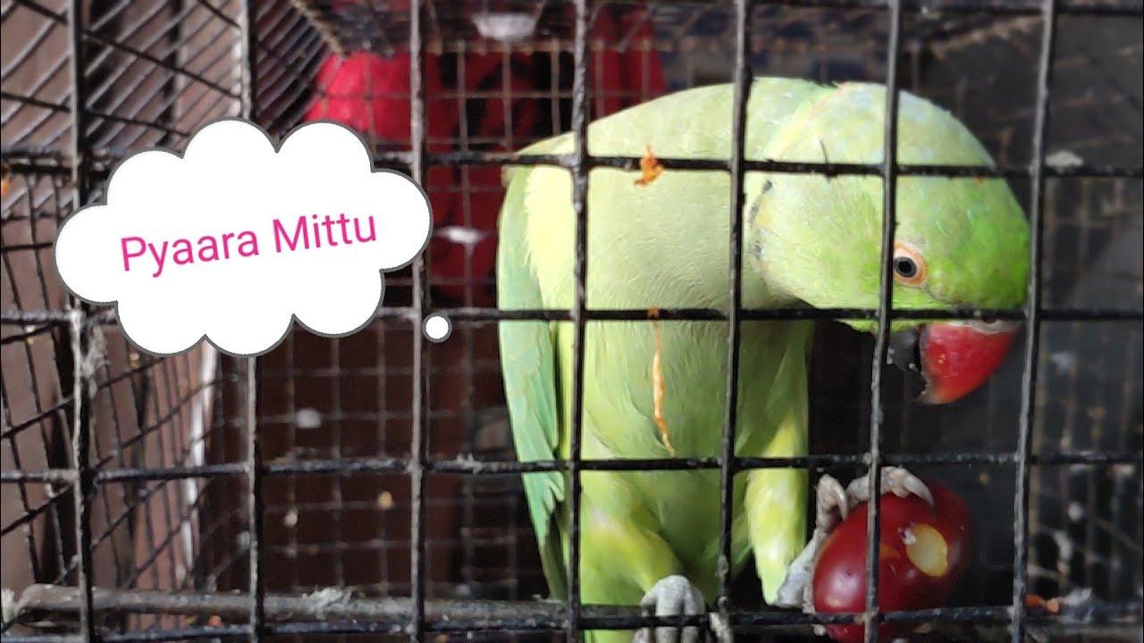 Bohat pyaara mittu baby 💕💞😍😍💌    Indian ringneck  parrot    Funny parrot   Chirag mittu videos