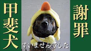 我が家の甲斐犬ハルヱが、毎日のように叱られていた頃の様子を収めた素...
