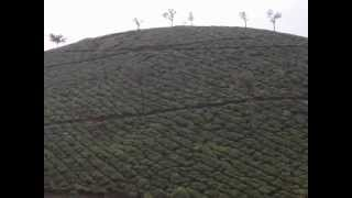Tea Plantation a Chinese Discovery