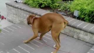 Butt-waggin Boxer