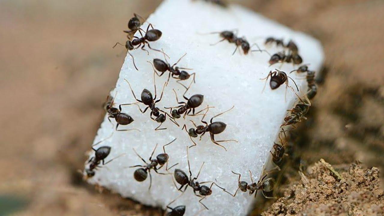 إزاي النمل بيظهر فجأة لما يقع سكر في المكان؟