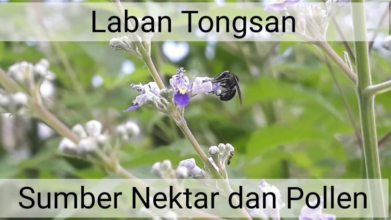 Vegetasi Trigona 5. Laban Tongsan