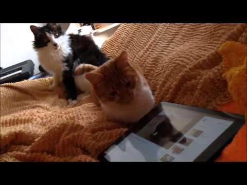 Вопрос: Может ли кошка выйти на голос заводчицы?
