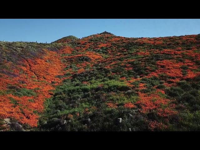 California Wild Flower Bloom