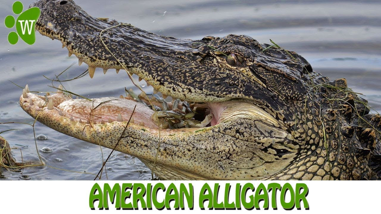 american alligator Other articles where american alligator is discussed: alligator: the american alligator (alligator mississippiensis), the larger of the two species, is.