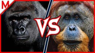 Gorilla vs Orangutan | ANIMAL BATTLE (+ Caracal vs Clouded Leopard winner) thumbnail