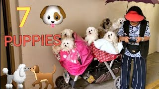!! !7 dogs in one cart !! 🐶 NYC cutest puppies playing | Maltese breed