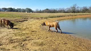 Boerbull playtime