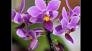 видео ФАЛЕНОПСИС. Орхидея после цветения. Обрезать цветонос или оставлять?