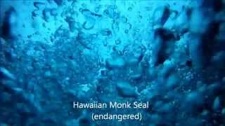 Niihau 2012 - Diving with Monk Seals.wmv