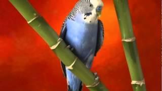 Пение волнистых попугаев . Singing budgies