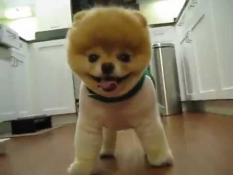 померанец собака фото