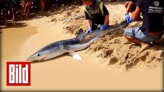 Hai-Alarm auf Mallorca - Schock-Moment im Video