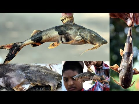 Rare Different Goonch Catfish |Watned Rare Fish|River Rare Fish|Famous Variety Rare Fish