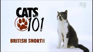 Порода кошек Британская короткошёрстная