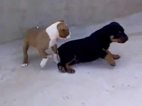 Rottweiler Vs Pitbull Youtube