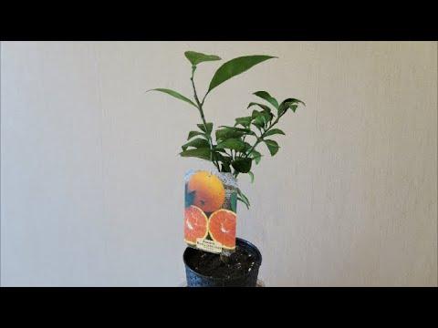 Мои экзотические растения: цитрусовые новинки и экзоты в открытом грунте в Латвии