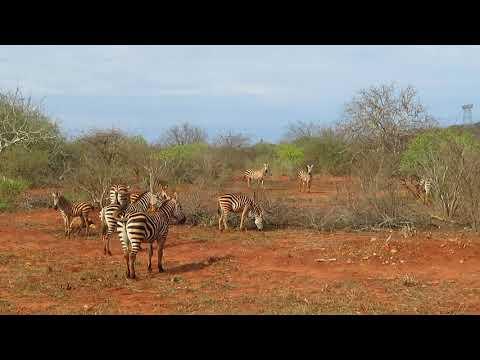 Zebras in Tsavo National Park, Kenya - Cycling Africa