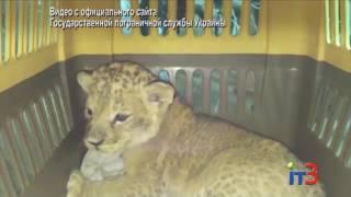 """Через порт """"Черноморск"""" пытались незаконно вывезти львенка"""