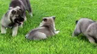 Norwegian Elkhound Puppies For Sale