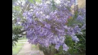 Plant ID: Jacaranda (Jacaranda mimosifolia)