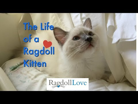 The Simple Life of Duffy, The Ragdoll Kitten