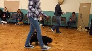 Border terrier Leeloo puppy training.