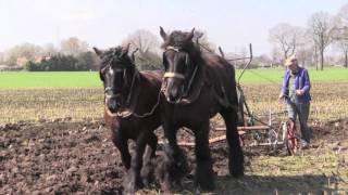 Belgian Draft Horses-horse drawn balance plough