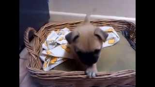 My Pomeranian/pug? Poppy!