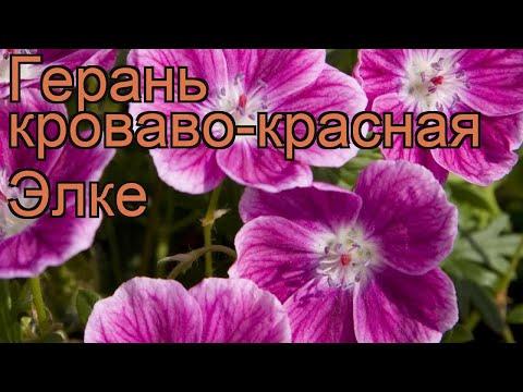 Герань кроваво-красная Элке (geranium elke) 🌿 герань Элке обзор: как сажать саженцы герани Элке