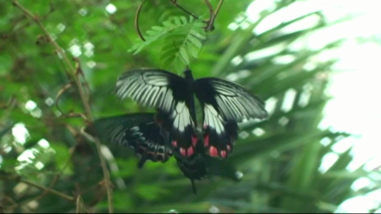 butterfly conservatory niagara falls canada youtube. Black Bedroom Furniture Sets. Home Design Ideas